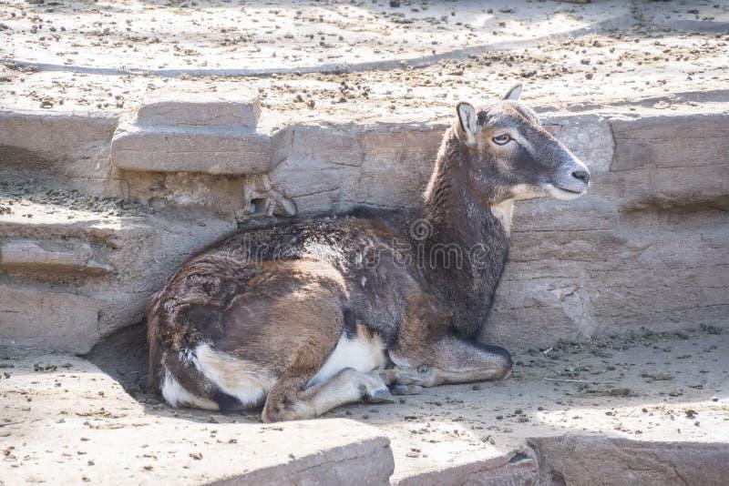 Mouflon europeu que descansa quietamente, Ovis Musimon imagem de stock royalty free