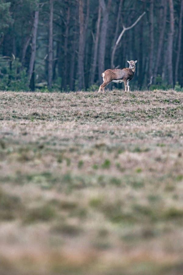 Mouflon fêmea solitário que está no campo na borda de uma floresta fotos de stock