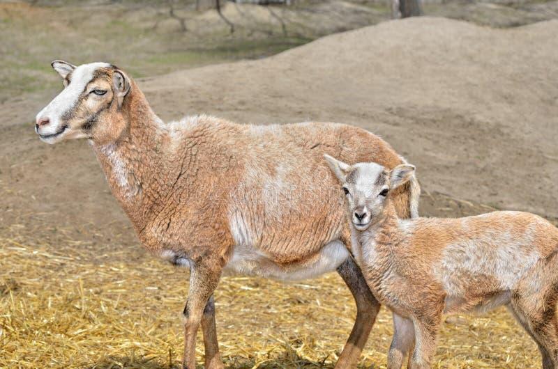 Mouflon femelle sauvage adulte avec son agneau images libres de droits
