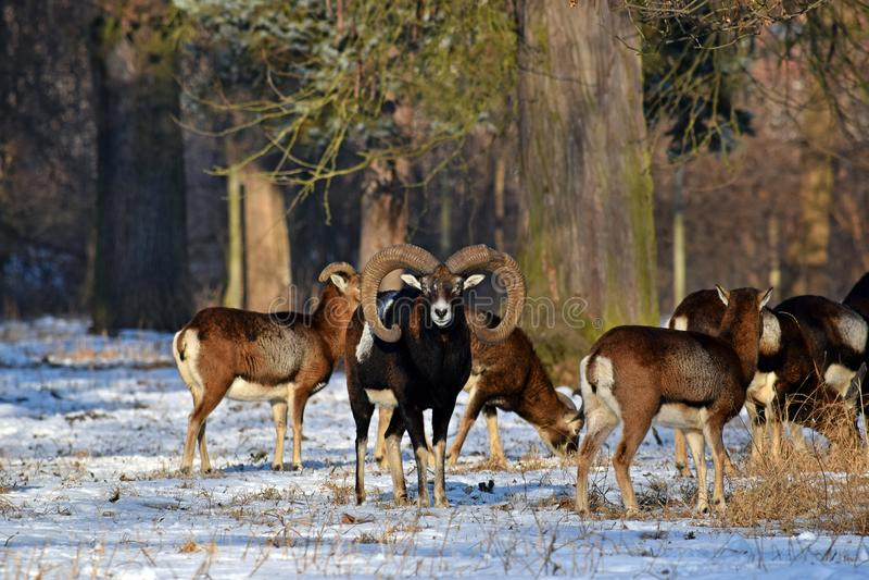Mouflon flock i vinter på snö royaltyfria bilder