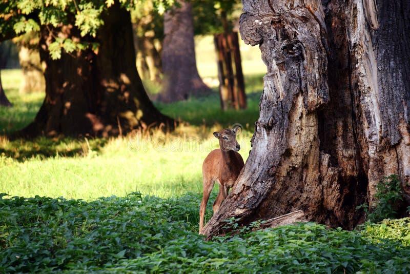 Mouflon i skogen fotografering för bildbyråer