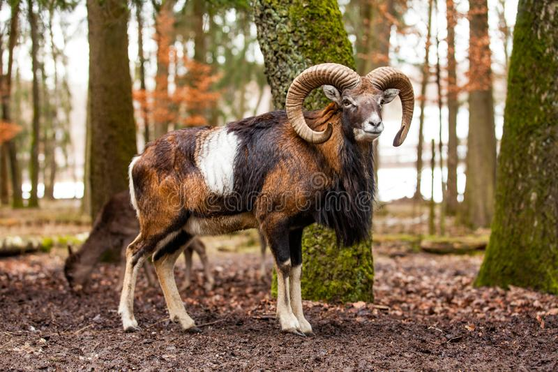 Mouflon Male Ovis musimon with big curvy horns in the German forest stock photography