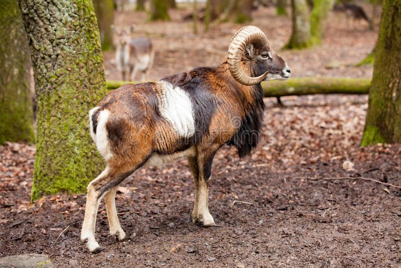Mouflon manlig Ovismusimon med stora curvy horn i den tyska skogen royaltyfri fotografi