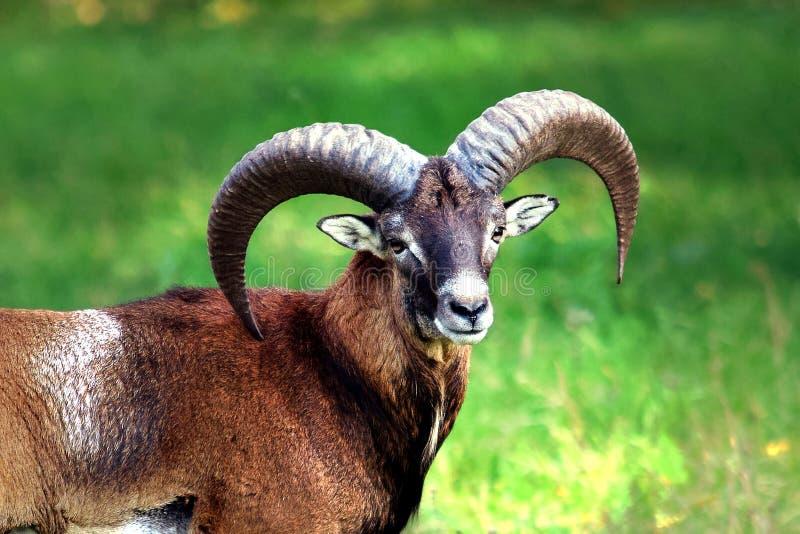 Mouflon mit seiner Schönheit stockbild
