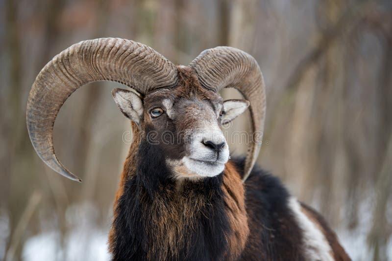 Mouflon, orientalis d'Ovis, animal à cornes de forêt dans l'habitat de nature image stock