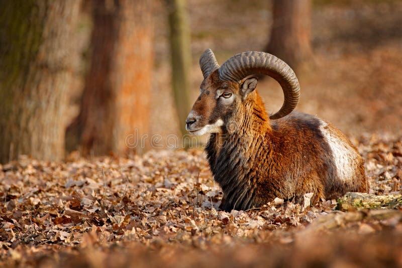 Mouflon, orientalis do Ovis, retrato do mamífero com chifres grandes, Praga, República Checa Natureza do formul?rio da cena dos a fotos de stock royalty free