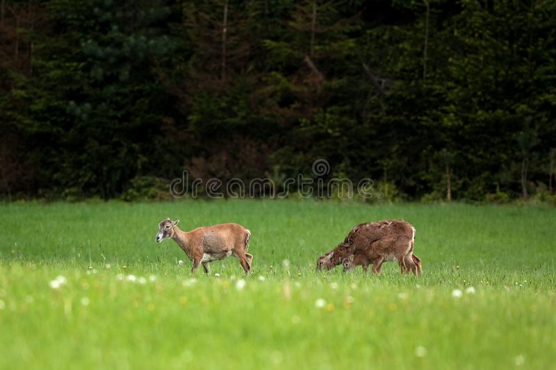 Mouflon, orientalis dos orientalis do ovis, república checa fotografia de stock