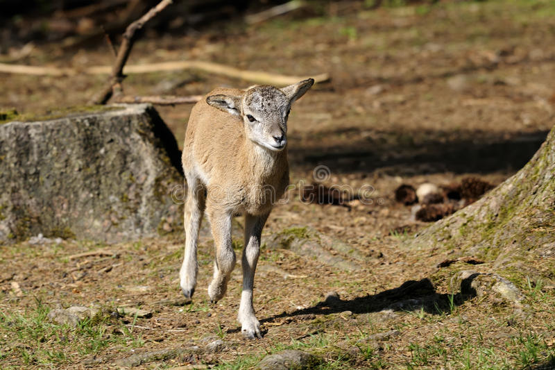 Download Mouflon, ovis aries stock image. Image of portrait, colorful - 14792557