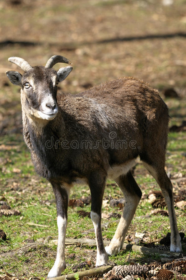 Download Mouflon, Ovis Aries Royalty Free Stock Photos - Image: 14792598
