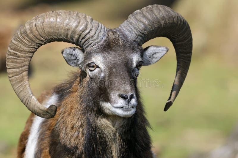 Mouflon, ovis aries stock afbeelding