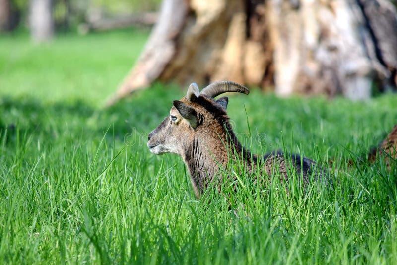 Mouflon Ovis Aries Musimon που βρίσκεται στη χλόη στοκ φωτογραφίες με δικαίωμα ελεύθερης χρήσης