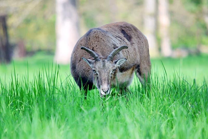 Mouflon Ovis Aries Musimon Eating Grass Closeup royaltyfria foton