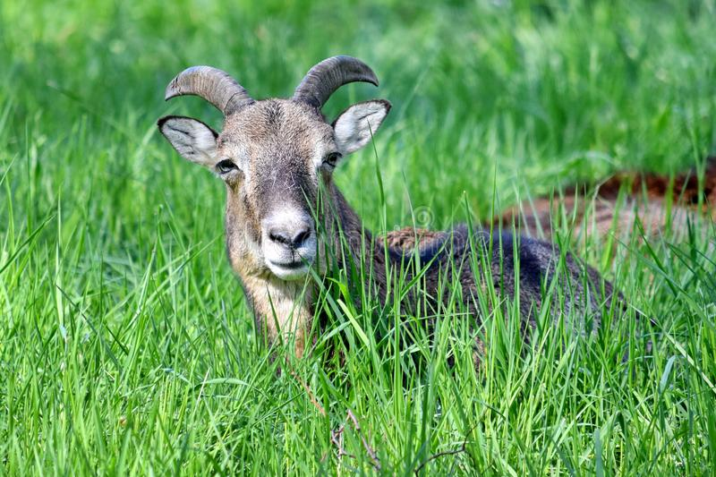 Mouflon Ovis Aries Musimon Lying in Grass Closeup. Portrait royalty free stock images