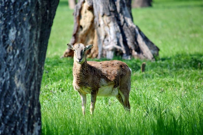 Mouflon Ovis Aries Musimon Portrait fotografering för bildbyråer