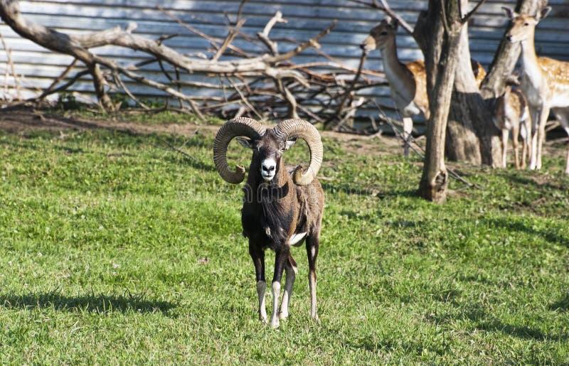 Mouflon (ovis musimon) στοκ φωτογραφίες