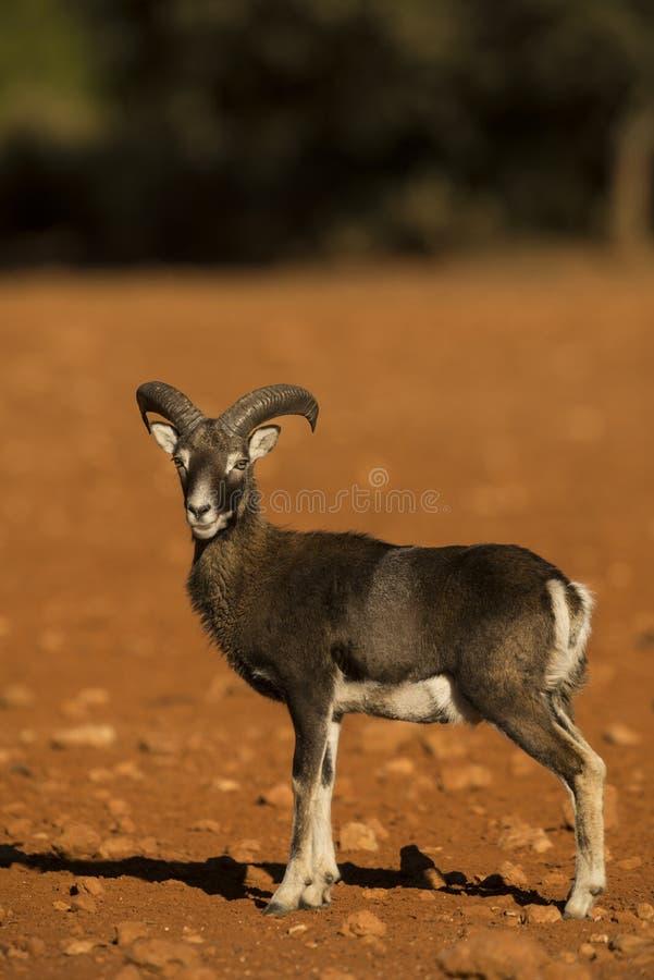 Mouflon royalty free stock images