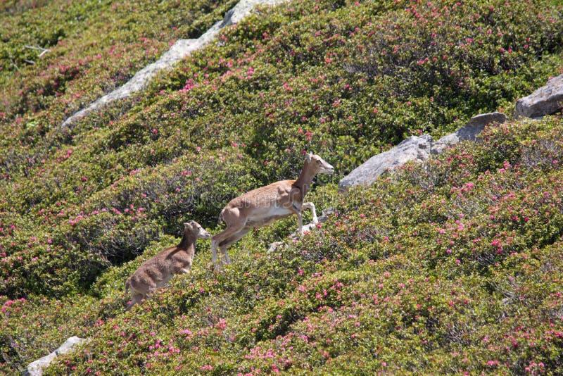 Mouflon. Ovis orientalis,ewe and lamb stock photography
