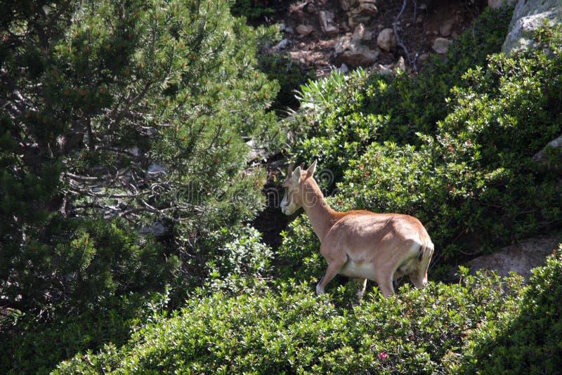 Mouflon stock images