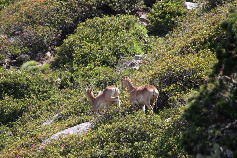 Mouflon. Ovis orientalis,ewe and lamb stock images