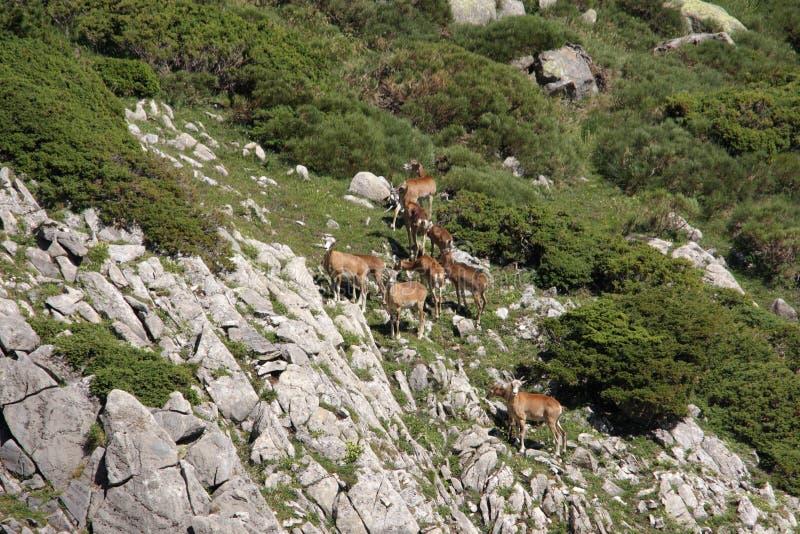 Download Mouflon stock photo. Image of herd, mammal, female, herbivorous - 83504348