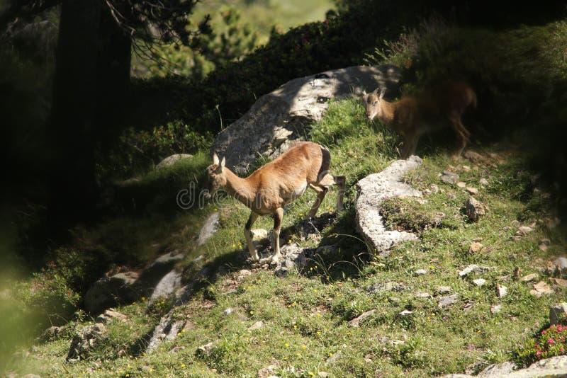 Mouflon stock photos