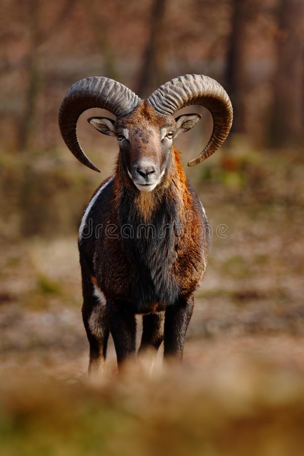 Mouflon, Ovis orientalis, forest horned animal in the nature habitat, portrait of mammal with big horn, face to face view, Praha,. Czech Republic, Europe royalty free stock photo