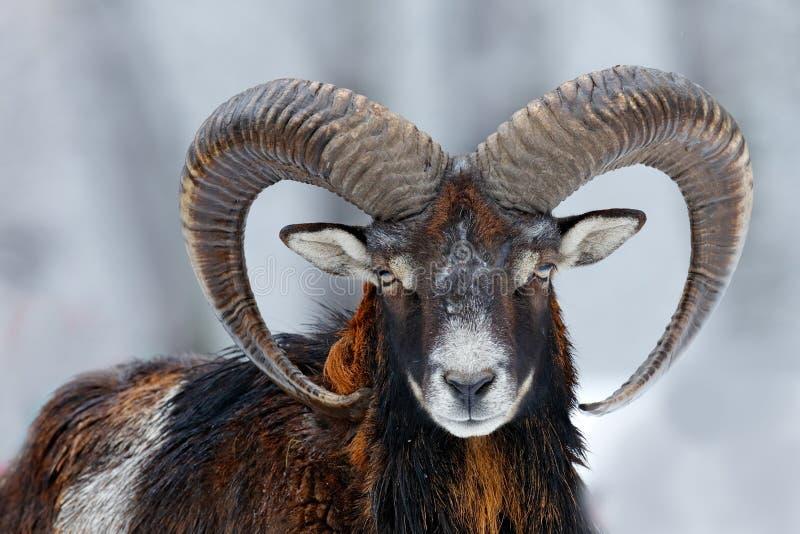 Mouflon, Ovis orientalis, horned animal in snow nature habitat. Close-up portrait of mammal with big horn, Czech Republic. Cold stock photos