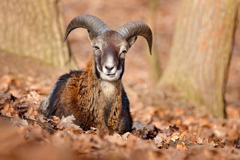 Mouflon, Ovis orientalis, portrait of mammal with big horns, Prague, Czech Republic. Wildlife scene form nature. Animal behavior. In forest. Muflon with big royalty free stock photo