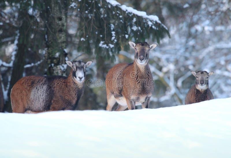Mouflon Ovismusimon som är kvinnlig i vinter royaltyfria foton