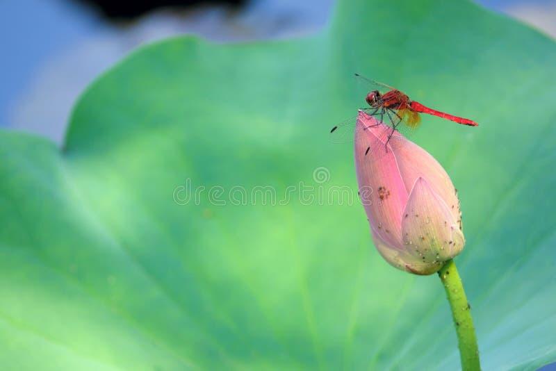 Mouflon rouge et lotus bourgeon images stock