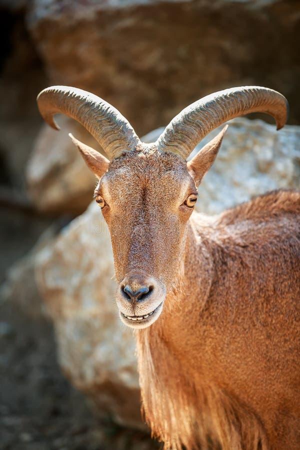 Mouflon smile portrait beautiful animal stock image