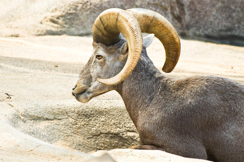 Mouflon of wilde bergschapen stock foto