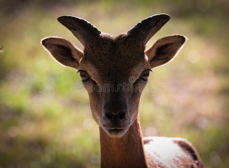 Mouflonen är en underartgrupp av Ovisorientalisna för lösa får royaltyfri fotografi