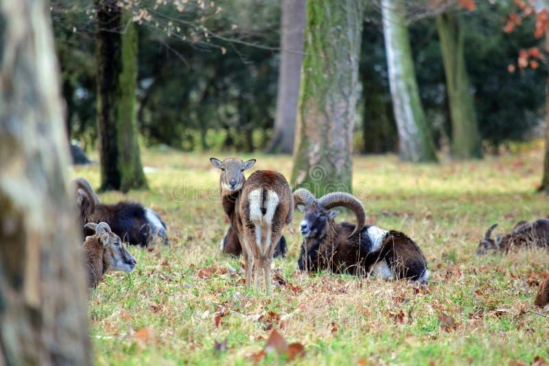 Mouflonkudde in de Winter Forest Stock Photo stock afbeelding