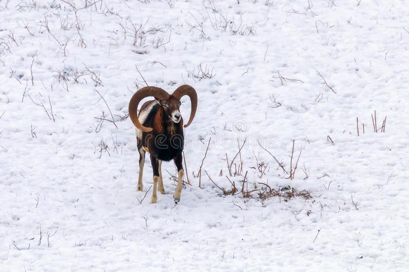 Mouflonmannetje in ovis van de de Winter Wilde aard musimon royalty-vrije stock foto