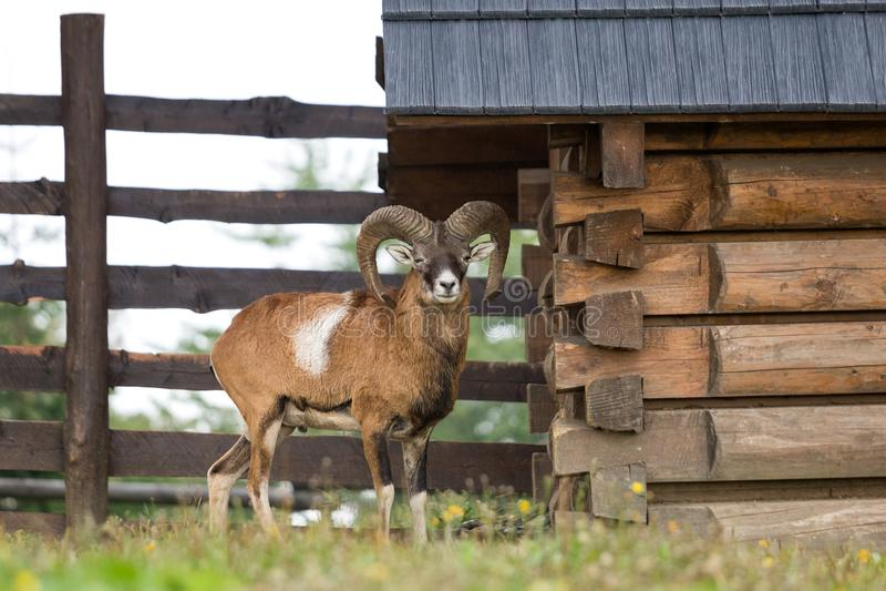 Mouflonovis musimon, wilde schapen royalty-vrije stock afbeelding