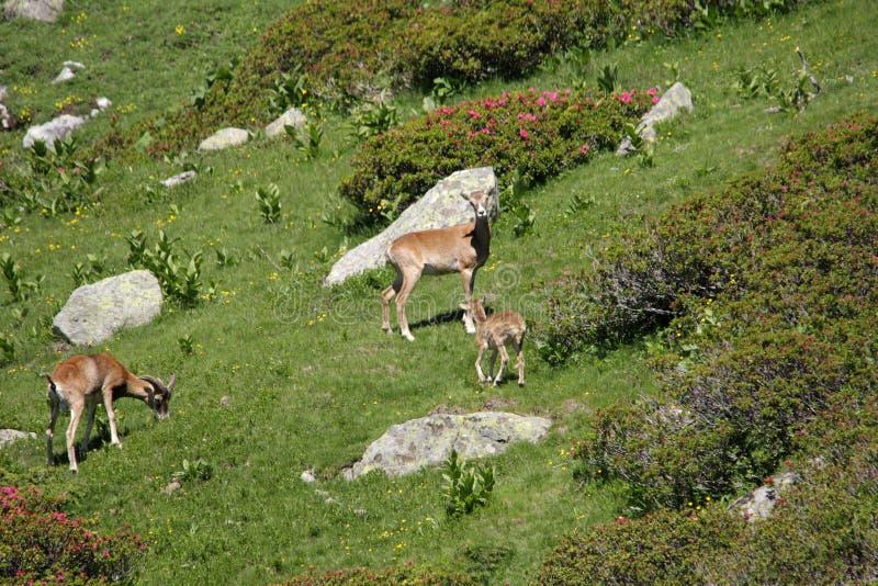 Mouflons stock afbeeldingen