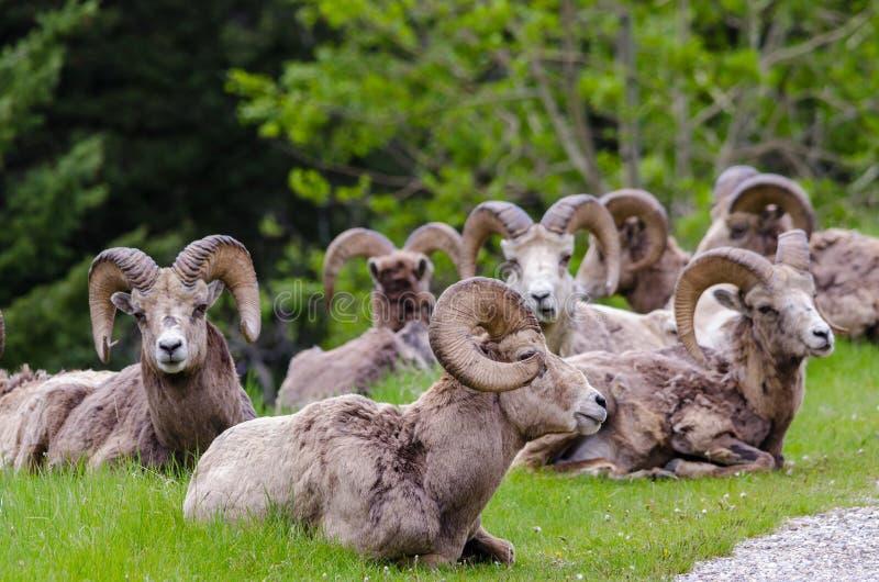 Mouflons d'Amérique - canadensis d'Ovis un hurd photo libre de droits
