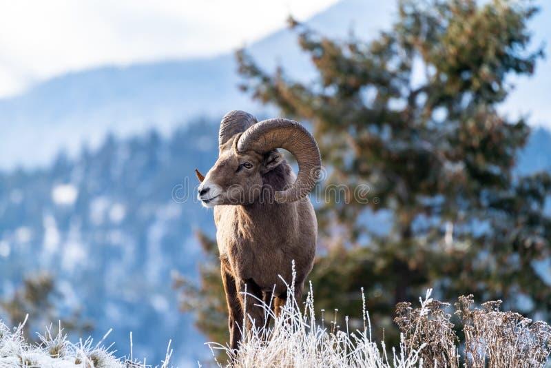 Mouflons d'Amérique masculins de Ram se tenant au bord d'une falaise avec les herbes givrées d'hiver photos libres de droits