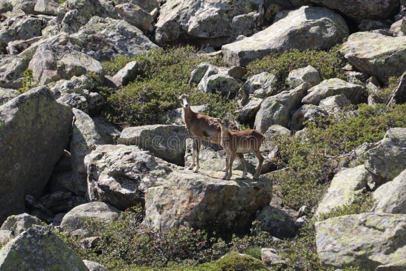 Mouflons, ooi en lam in de Pyreneeën stock afbeelding