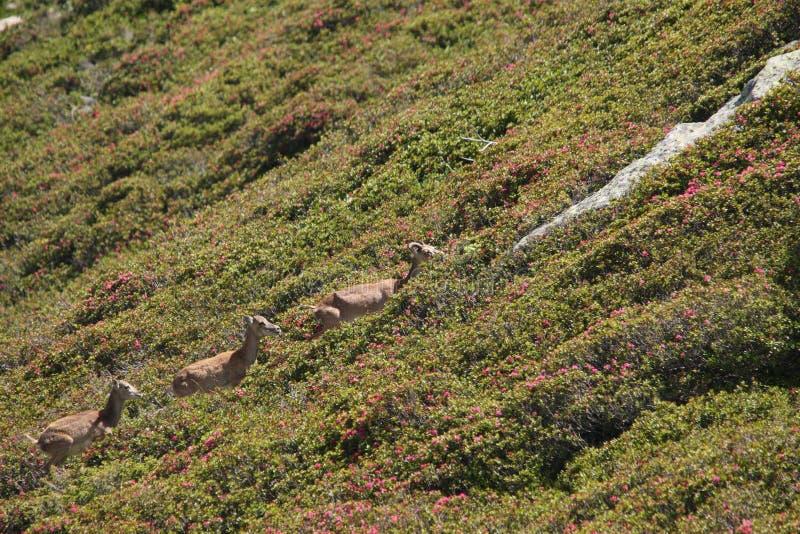 Mouflons, ooi en lam in de Pyreneeën stock foto