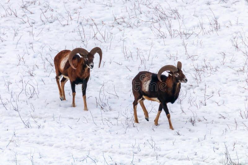 Mouflons ovis χειμερινής στα άγρια φύσης musimon στοκ εικόνα