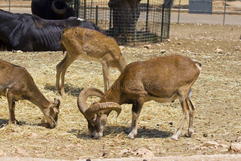 Mouflons vernam wilde schapen eet stock afbeeldingen