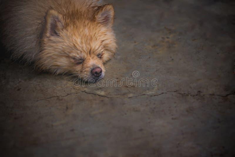 Mouillez et imbibez de fixer le chien pomeranian brun détendent le MOO photo libre de droits