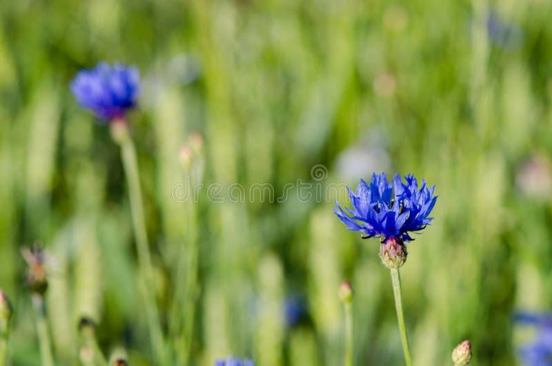Mouillez les baisses de l'eau sur la fleur de fleur de bluet de bleuet photo stock