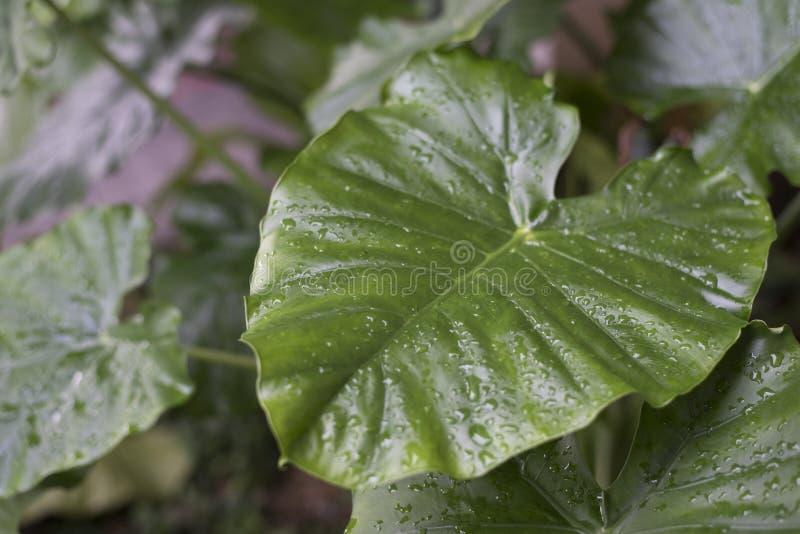Mouillez sur la feuille de macrorrhiza d'alocasia pendant le matin photographie stock