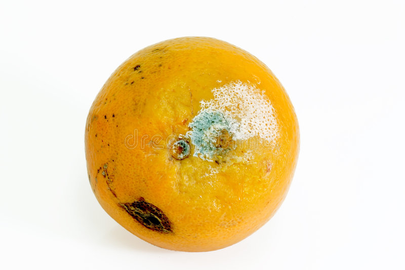 Mouldy orange. Mouldy fruit on bright background stock image