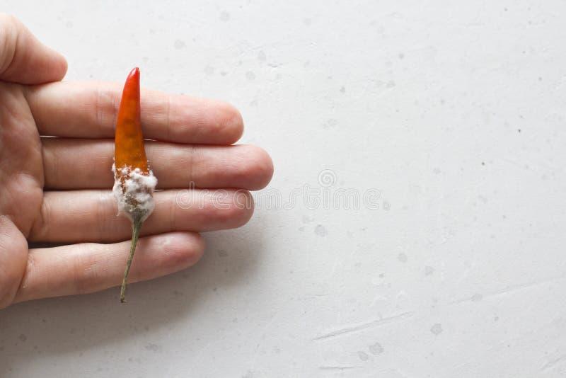 Moule blanc sur les poivrons de piment oranges, sur un fond gris-clair moderne Nourriture corrompue, légumes La main tient le poi photo libre de droits