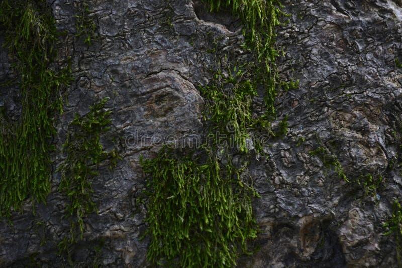 Moule de mousse d'écorce d'arbre images libres de droits