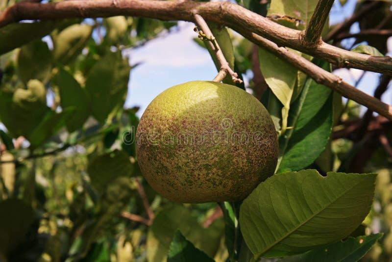 Moule de Soothy sur le fruit citron, maladie végétale photo stock